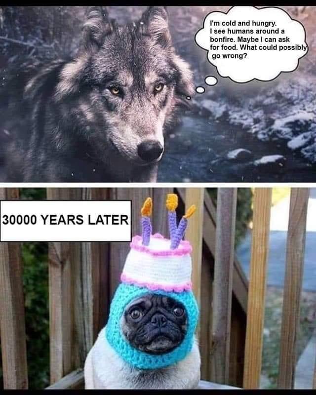 Wolf pug.jpeg